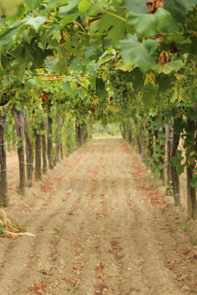 Teran grape vineyards in southwestern Slovenia near Italy's border
