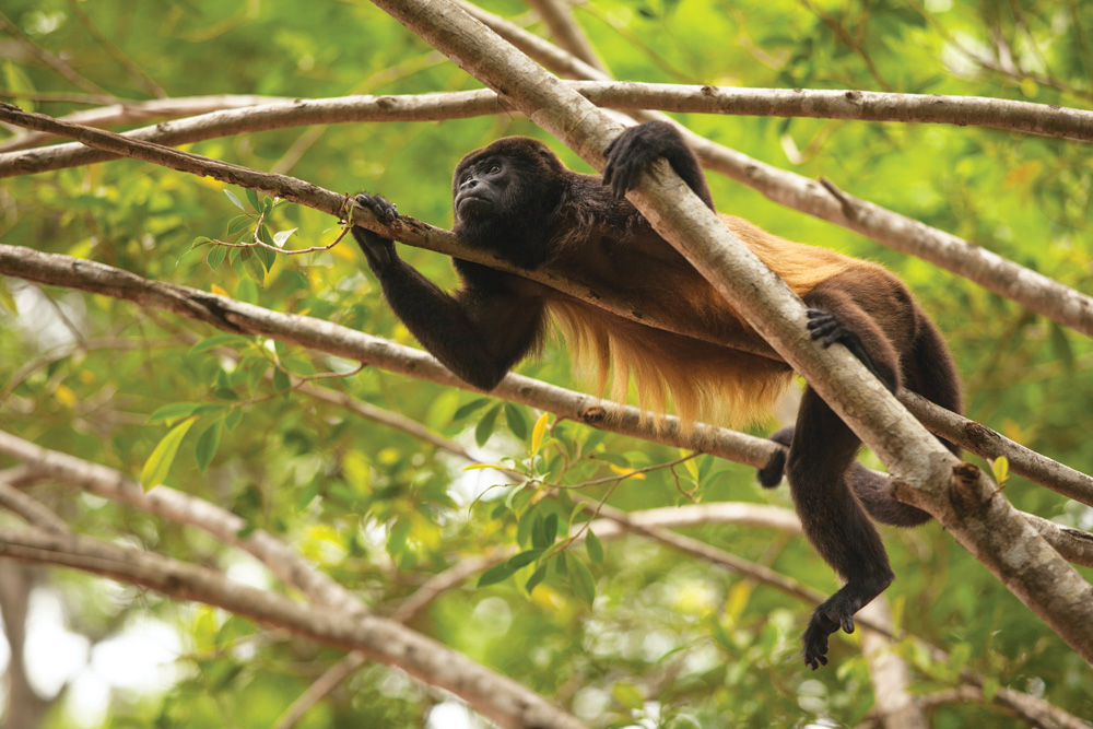 Panama Canal Ecotourism Dreamland Central America. The nimble mantled howler monkey (alouatta palliata)