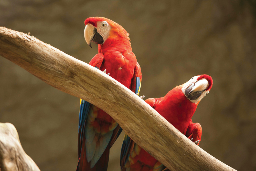 Panama Canal Ecotourism Dreamland Central America. Scarlet macaws
