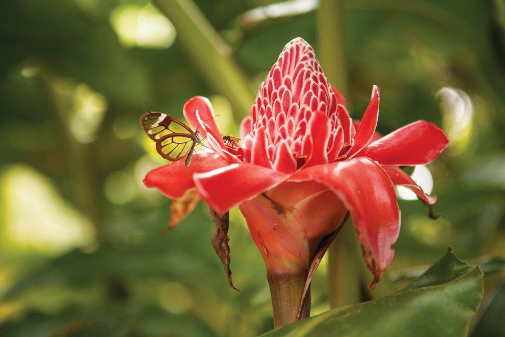 Panama Canal Ecotourism Dreamland Central America. The torch ginger or torch lily