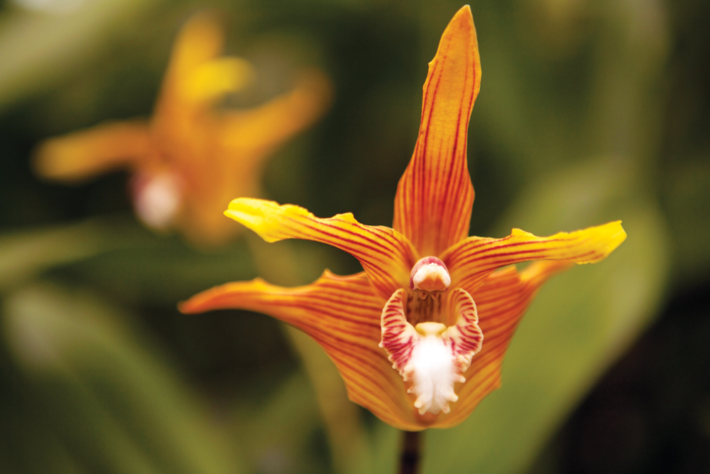 Panama Canal Ecotourism Dreamland Central America. Galeottia grandiflora