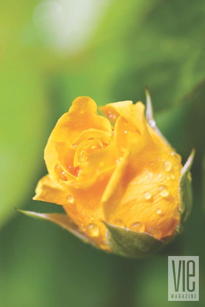 Vie Magazine Bellingrath Gardens yellow rose covered in rain drops Photo by Bill Weckel