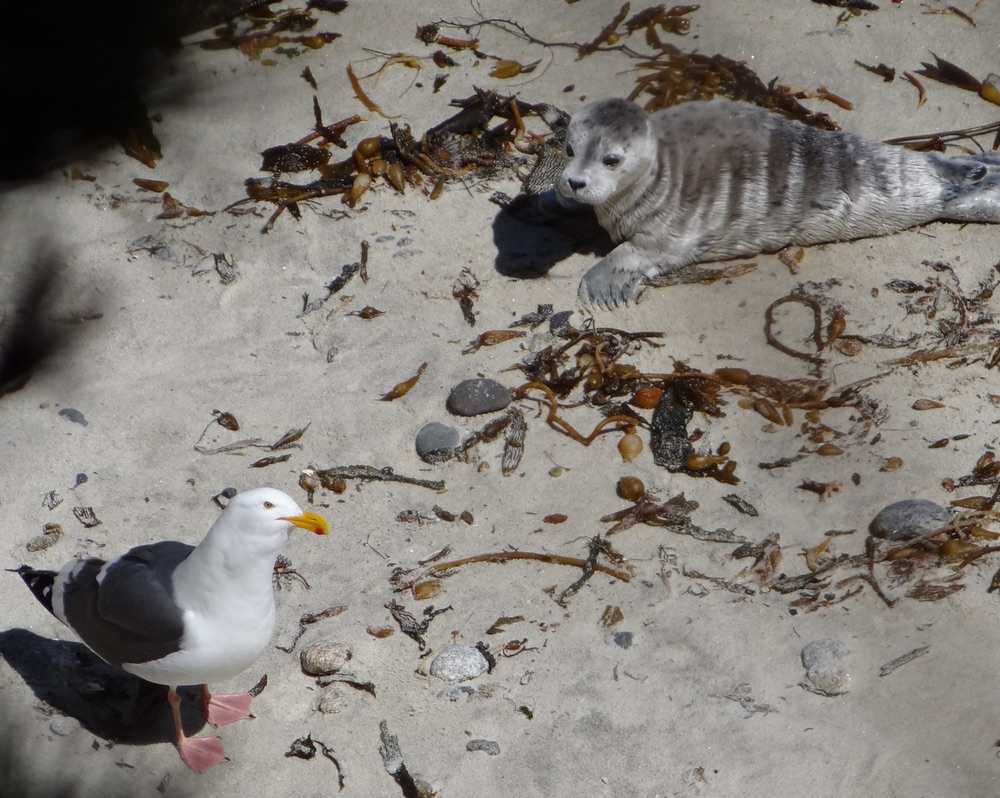 Baby seal pup and seagull on beach