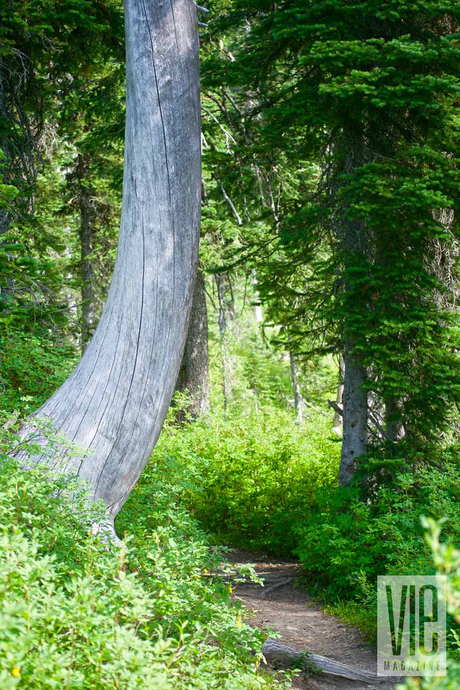 Curved tree on trail in Montana Jewel Basin