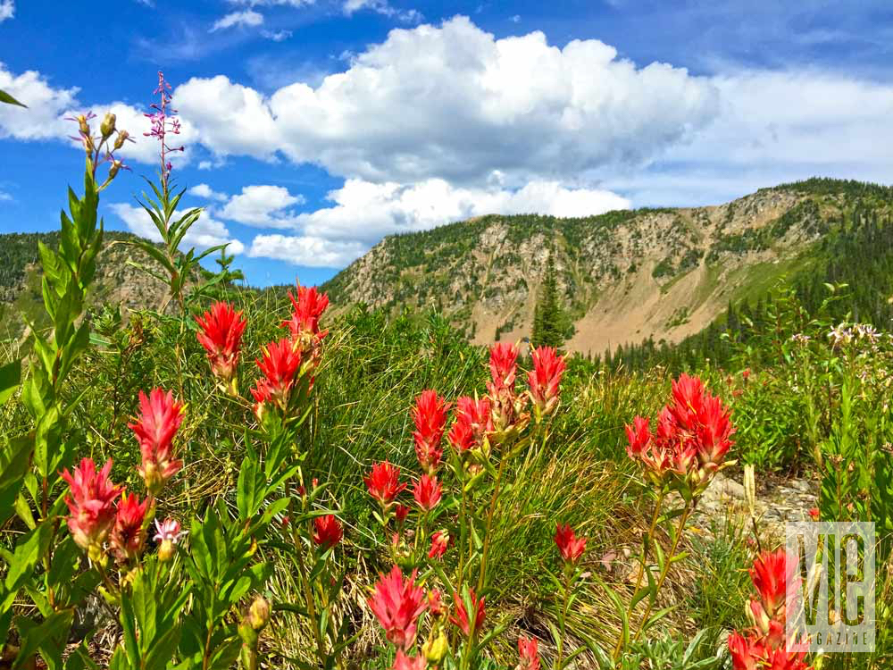 Red paintbrush flower in Great Plains in Montana Jewel Basin