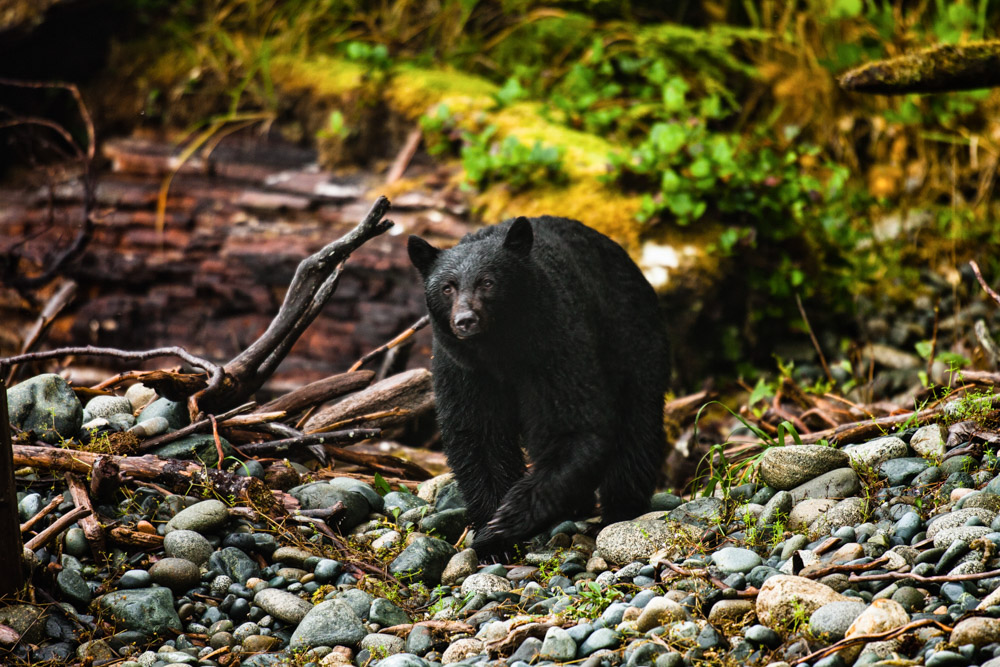 Black bear walking on the rocks in Vancouver Island, Canada