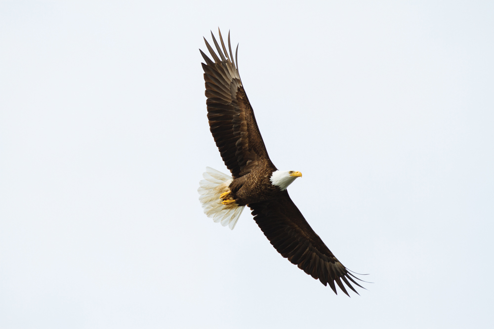 Bald Eagle soaring through the sky in Vancouver Island, Canada