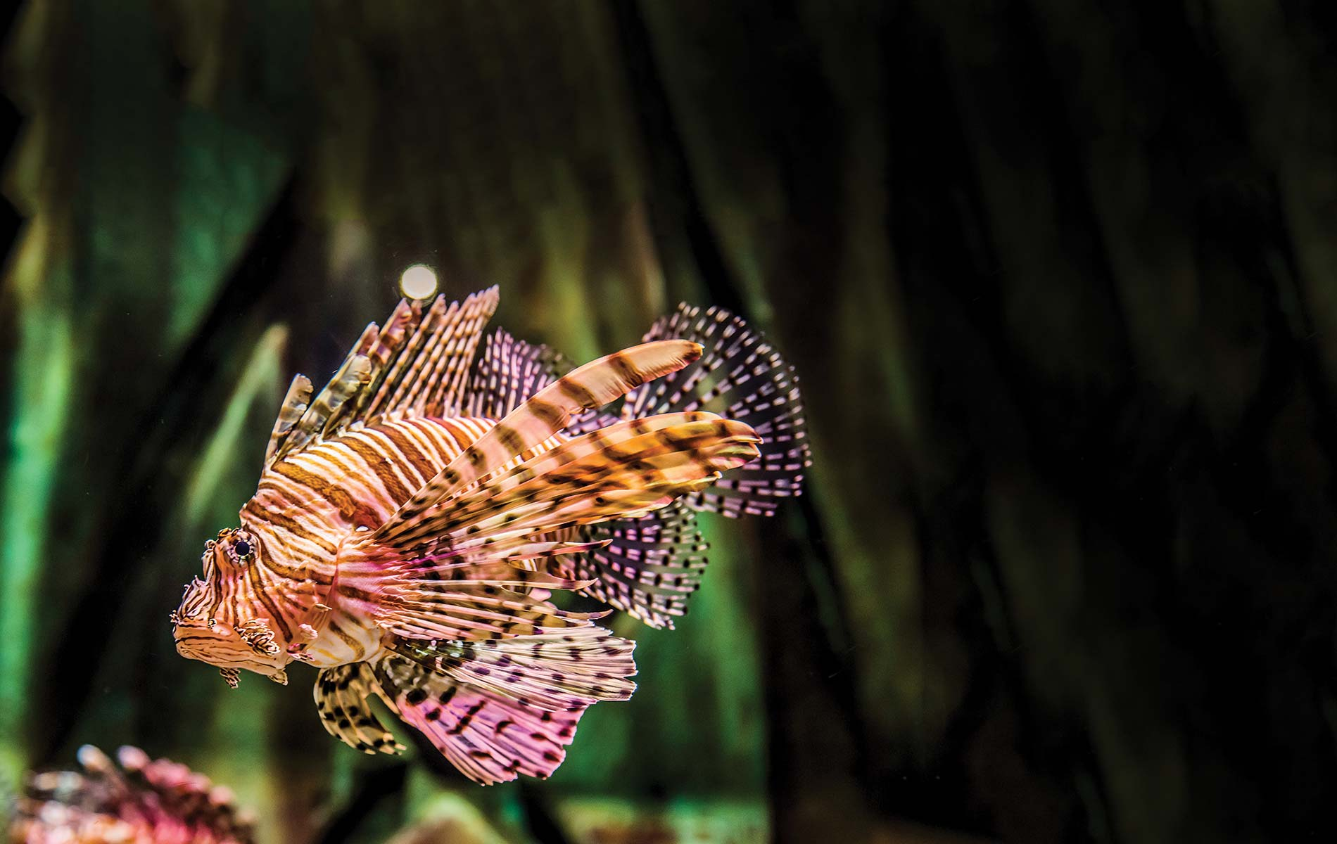 vie-magazine-lionfish-feature
