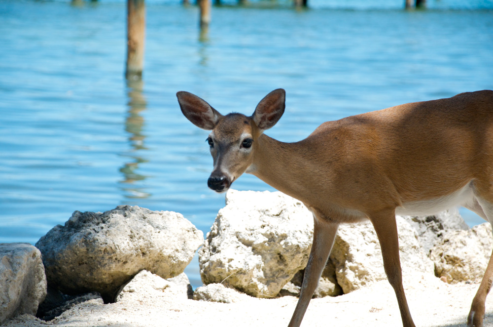 Little Palm Island deer