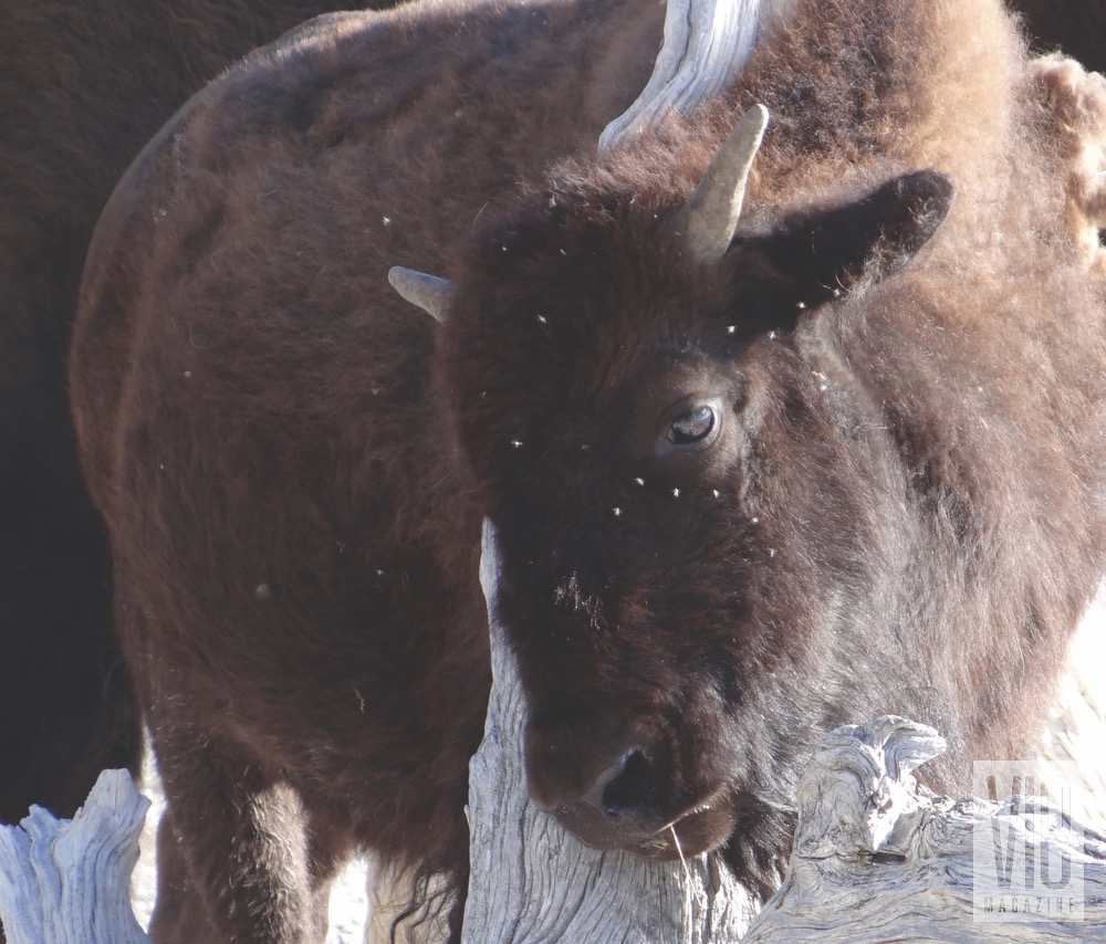 buffalo yellowstone national park vie magazine