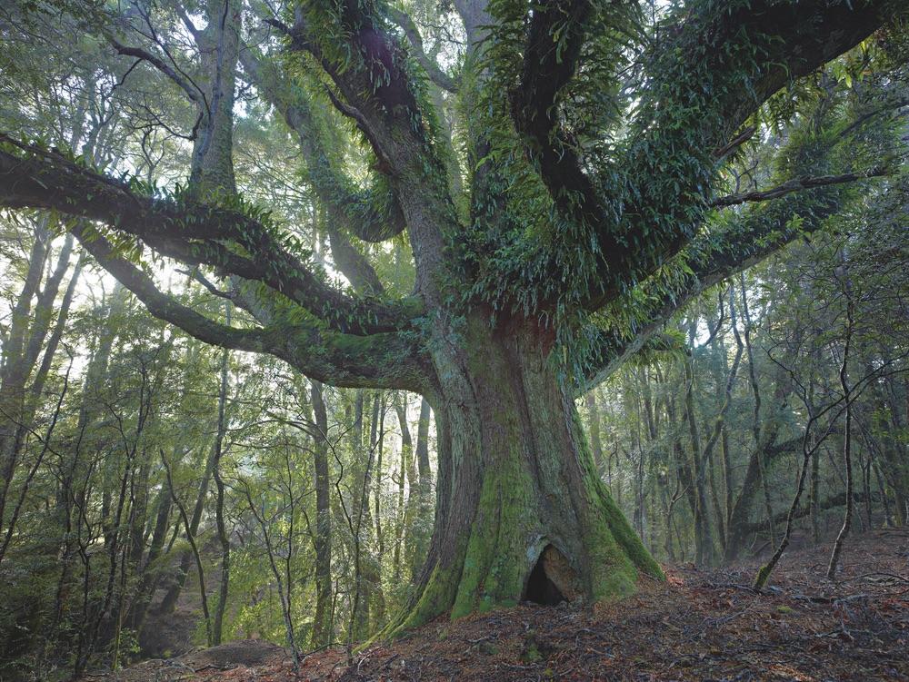 Ancient myrtle tree in rain forest northeast highlands tasmania