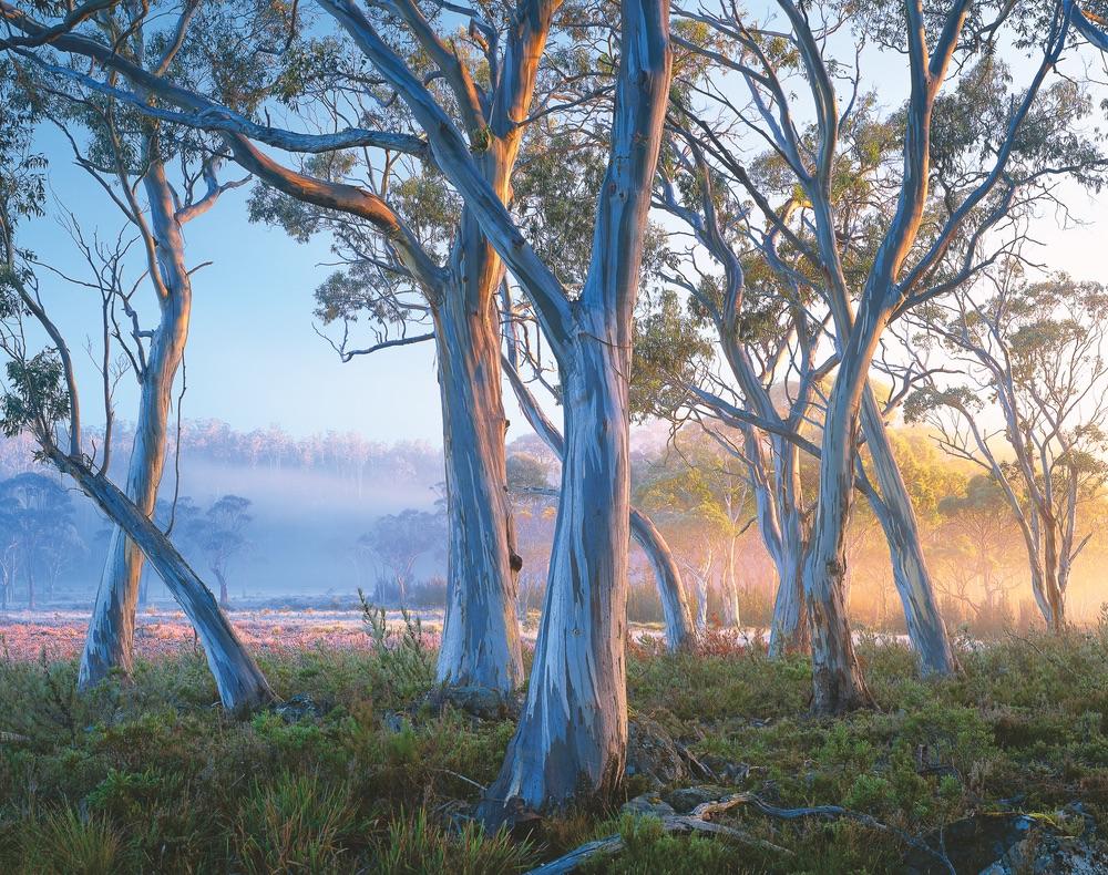 Snow gums near Lake Saint Clair Tasmania travel trees