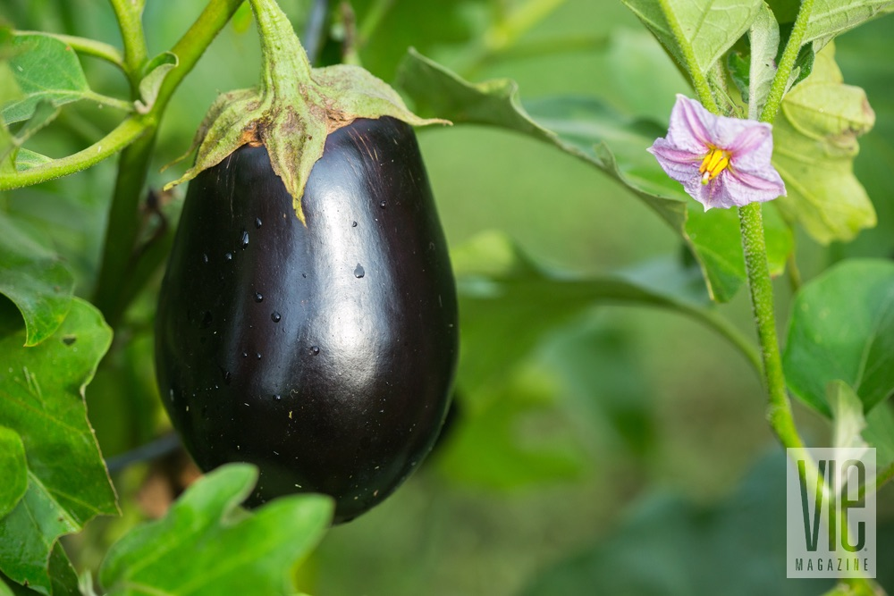 Eggplant in the garden fall fresh recipes from the garden