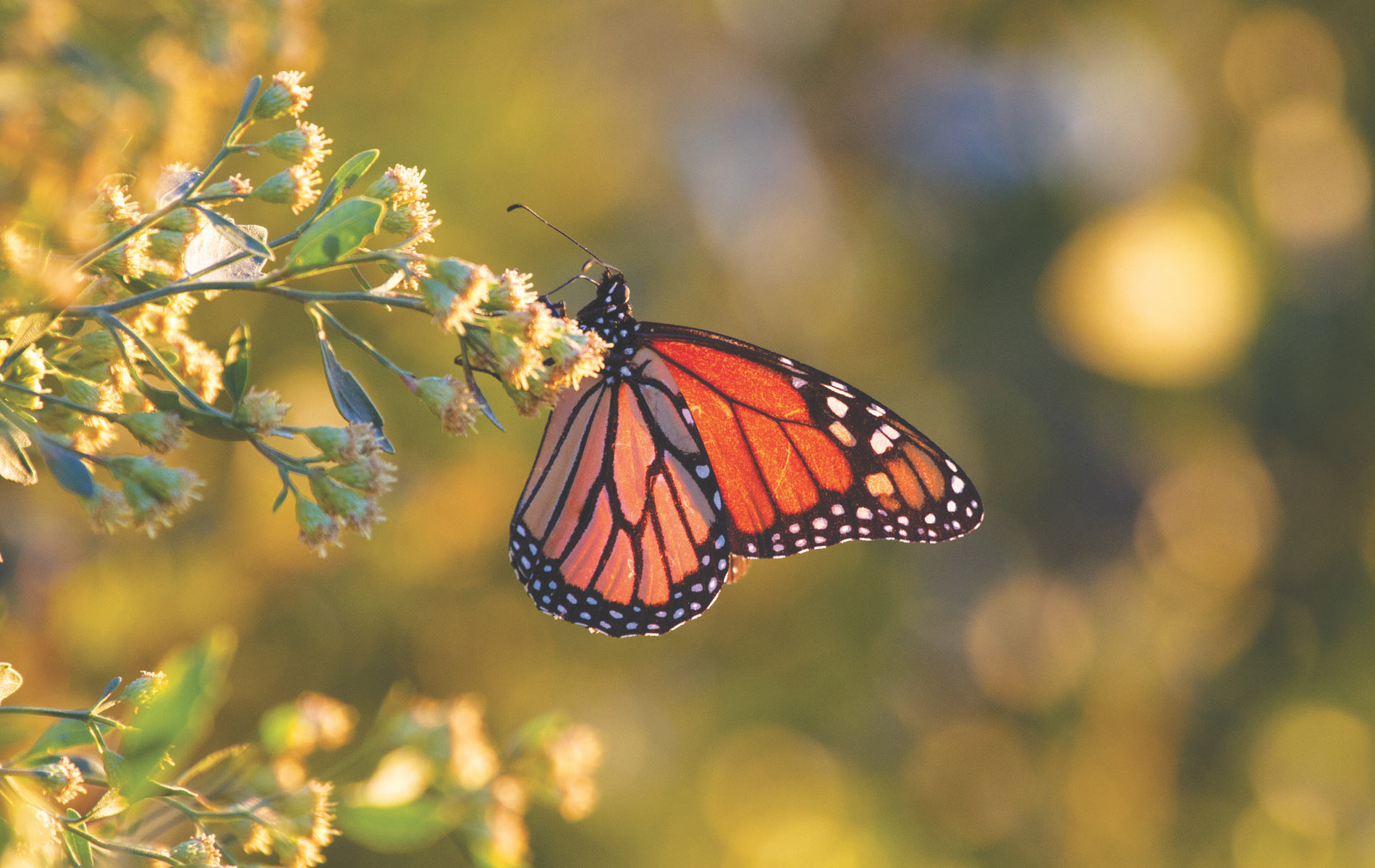 vie magazine monarch butterfly migration