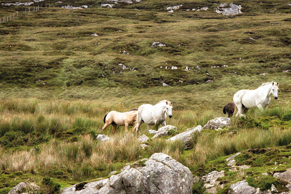 White horses on a hill Glenbricken Farm Connemara Life Voyager Travel Magazine Ireland