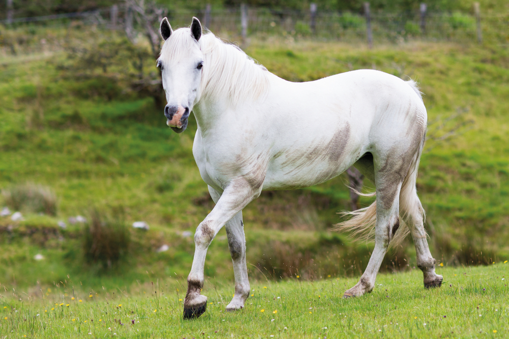 Beautiful white horse on Glenbricken Farm Connemara Life Voyager Travel Ireland