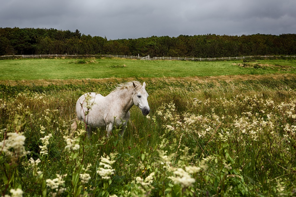 Beautiful Connemara Pony running through the field Photo by Romona Robbins