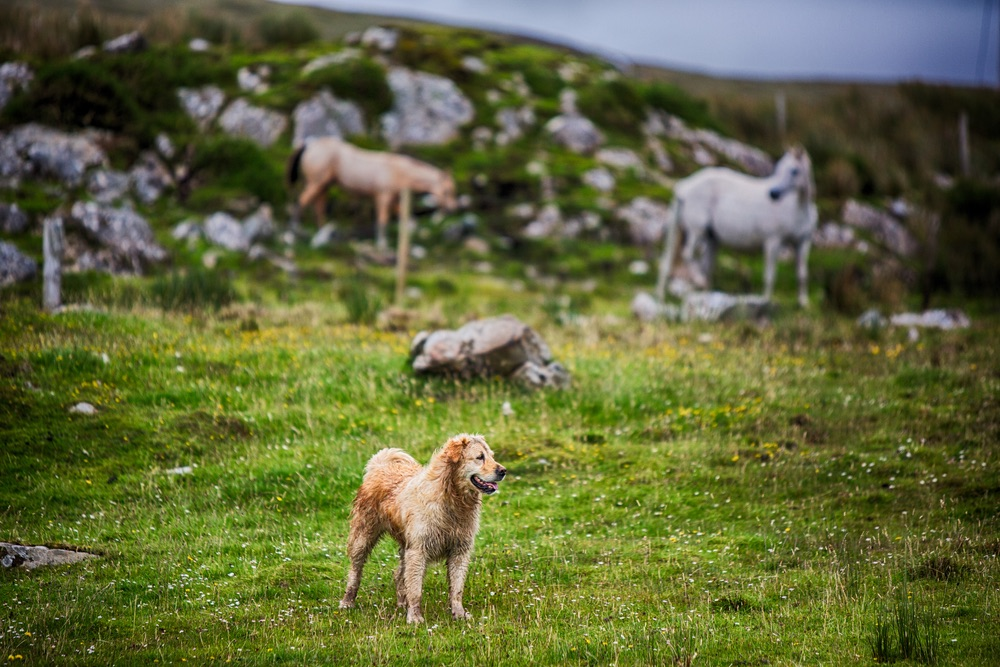 Dog on Glenbricken Farm Connemara Life The Sophisticate Issue
