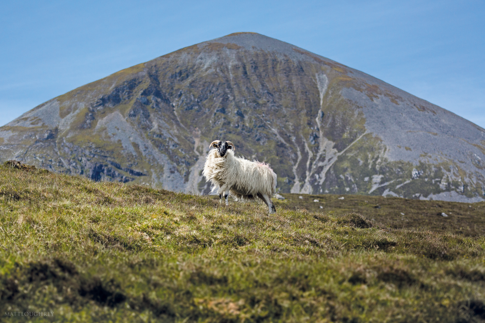 Mountain sheep in Connemara with mountain in the background Croagh Patrick Connemara Life 2016