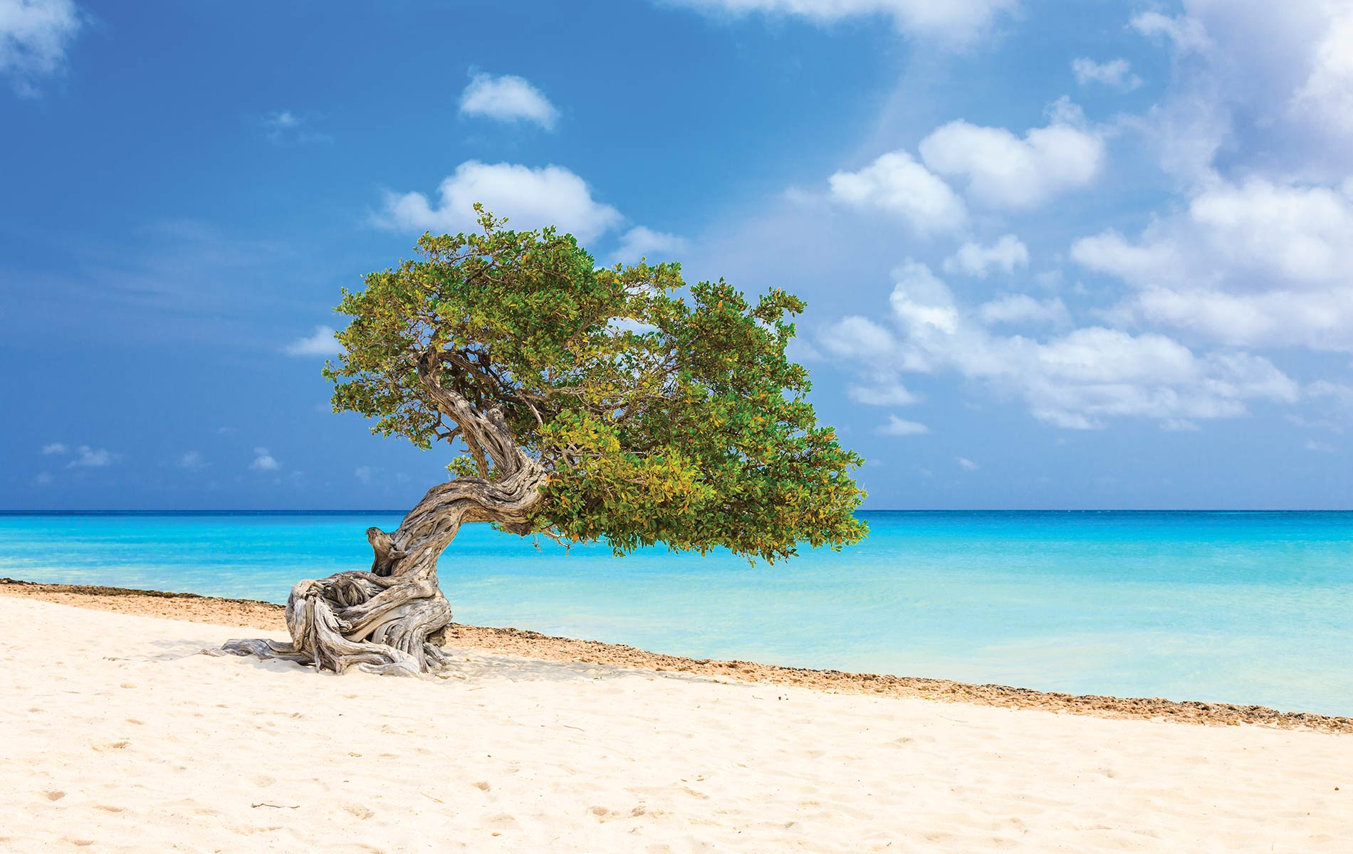 A native divi-divi tree, stretching toward azure waters, creates a serene and whimsical sight for Aruba island visitors.