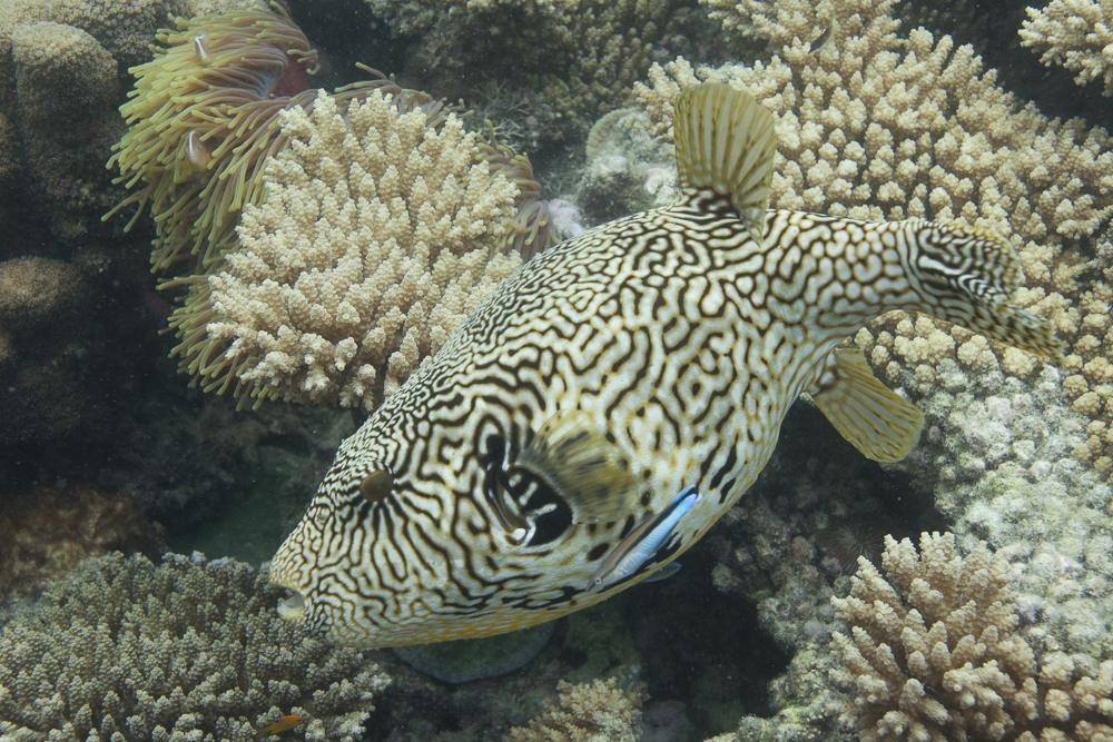 Landkarten-Kugelfisch Fish (Arothron mappa) in Chumbe Island Coral Park