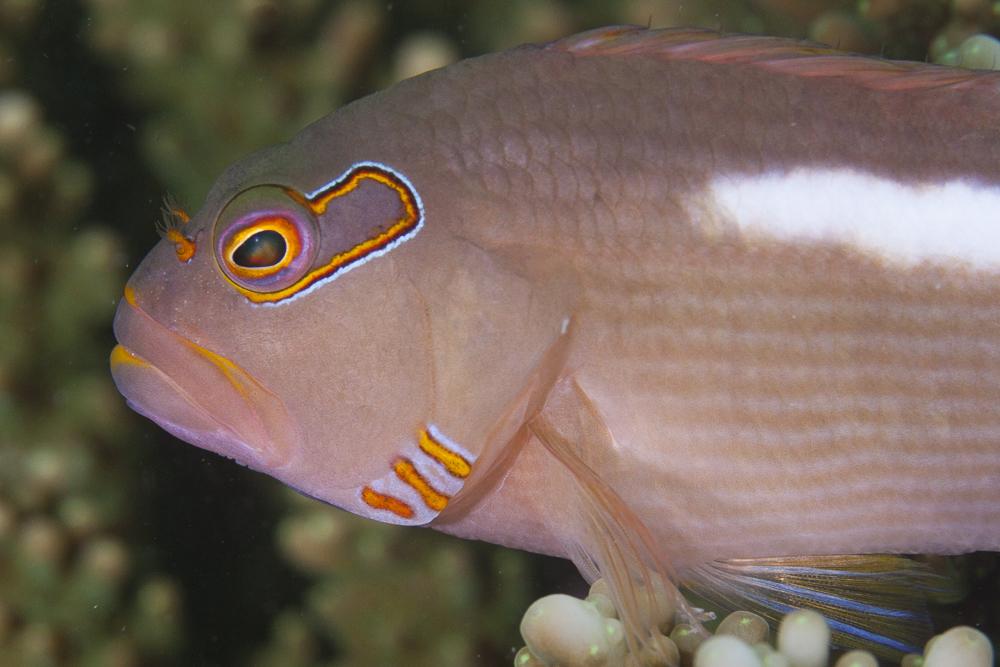 Augenbogen-Büschelbarsch Fish (Paracirrhites arcatus) in Chumbe Island Coral Park
