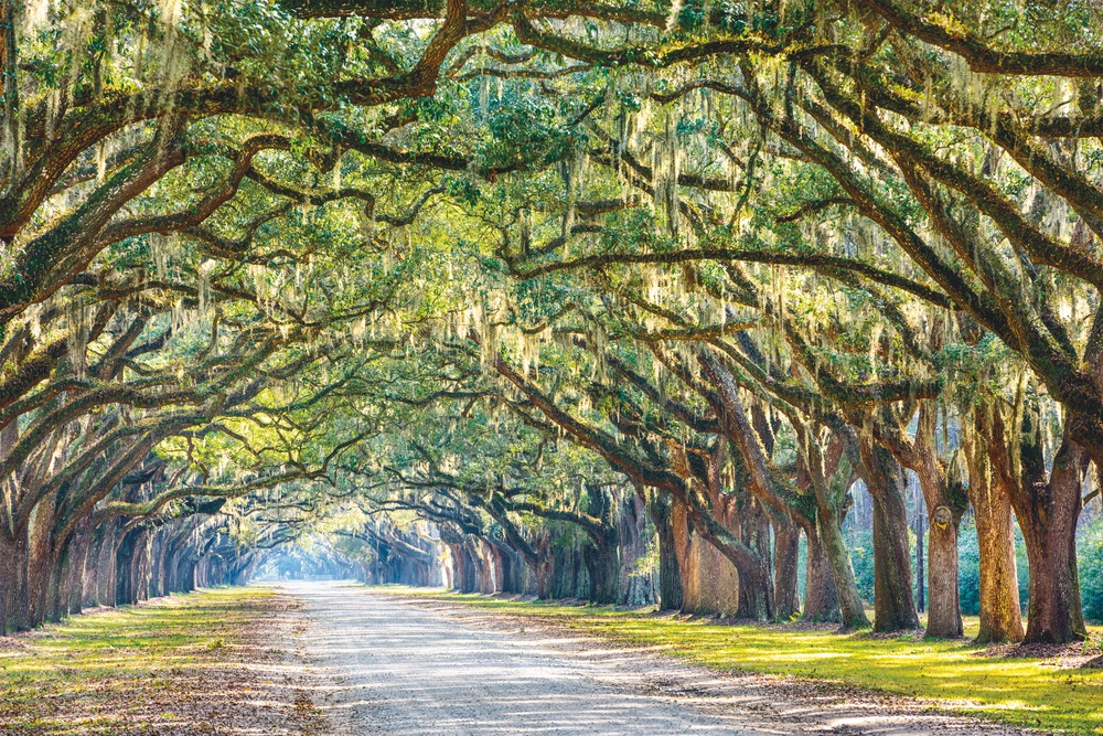 The oak-lined lane at historic Wormsloe Plantation.