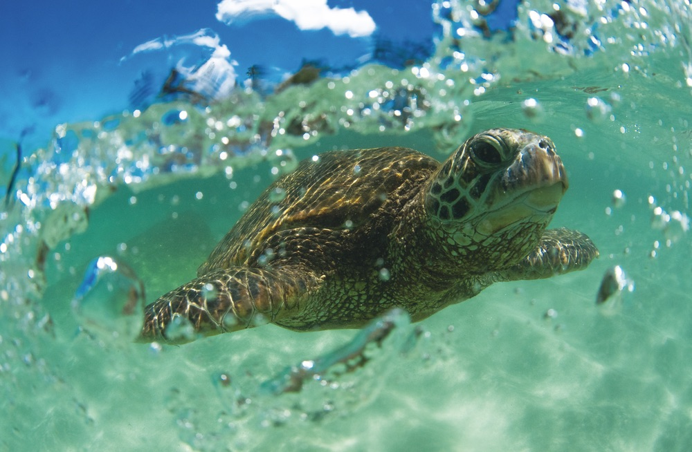 Hawaiian green sea turtle swims effortlessly through the crystal clear water just off the North Shore of Oahu. Chandler Williams, Modus Photography.