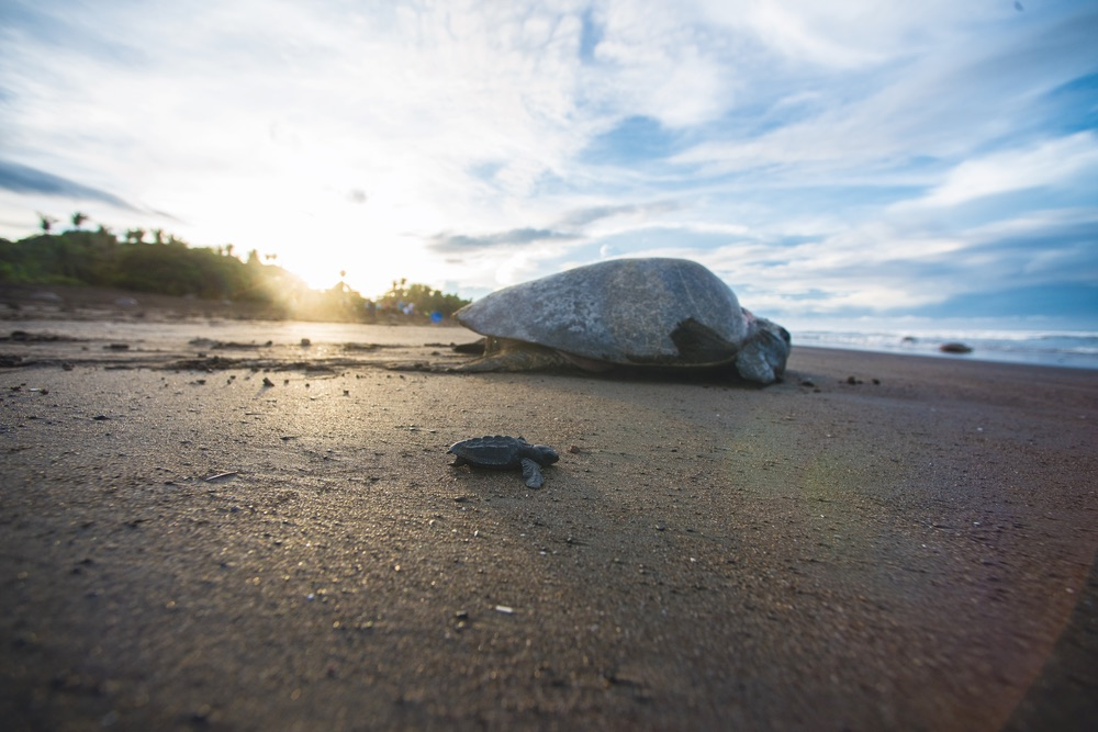"Exhausted mom and baby turtle battle their way back to their ocean home during the arribada or ""arrival"" in Ostional, Costa Rica. Chandler Williams, Modus Photography."
