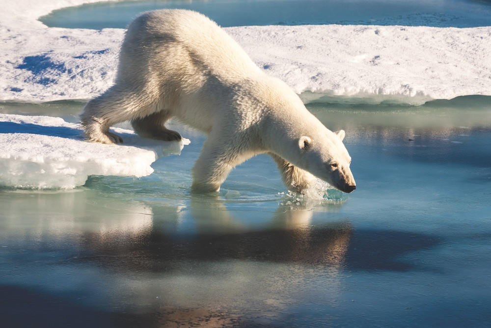 The plight of the polar bear is well known as populations decrease due to climate change; however, you might catch a glimpse of them as you travel around Greenland and other Arctic areas.