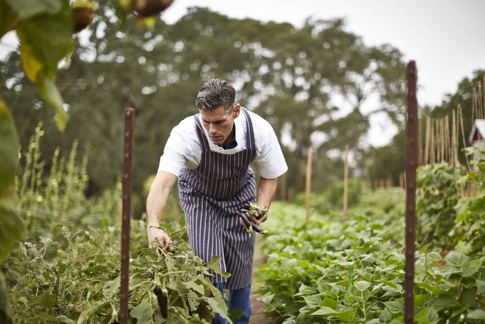 Jordan Vineyard and Winery; Executive chef, Todd Knoll, picks fresh produce from the garden on the property in Sonoma County, California.