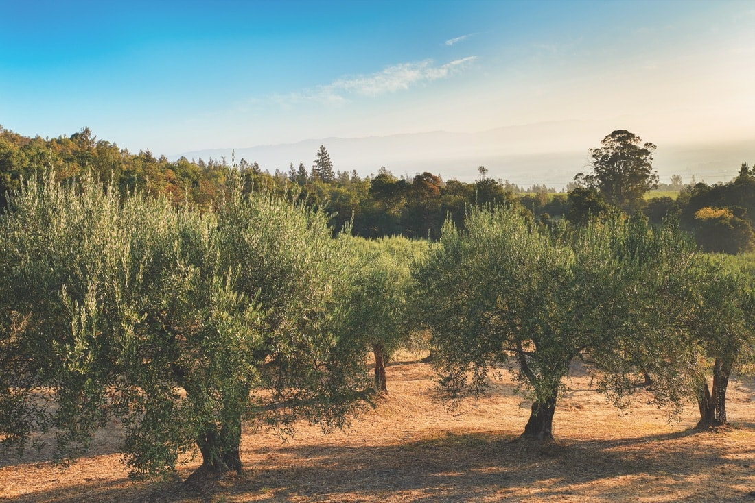 The olives at the Mayacamas Estate are harvested each year to make premium extra-virgin olive oils. The olive groves here are the oldest in Napa Valley. | Photo by Shea Evans for Long Meadow Ranch