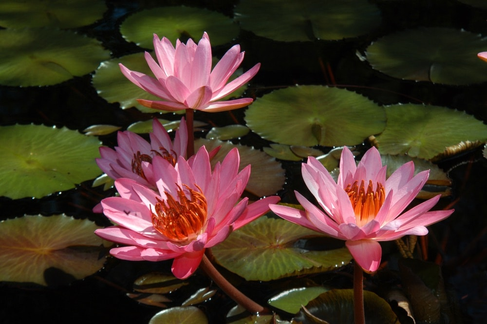 Beautiful pink water lilies bloom in a pool at the Birmingham Botanical Gardens in Birmingham, Alabama.