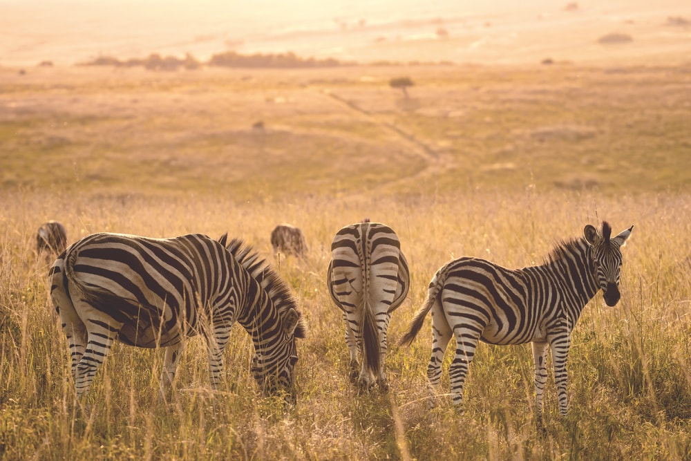 A zeal of zebras grazing on the savanna