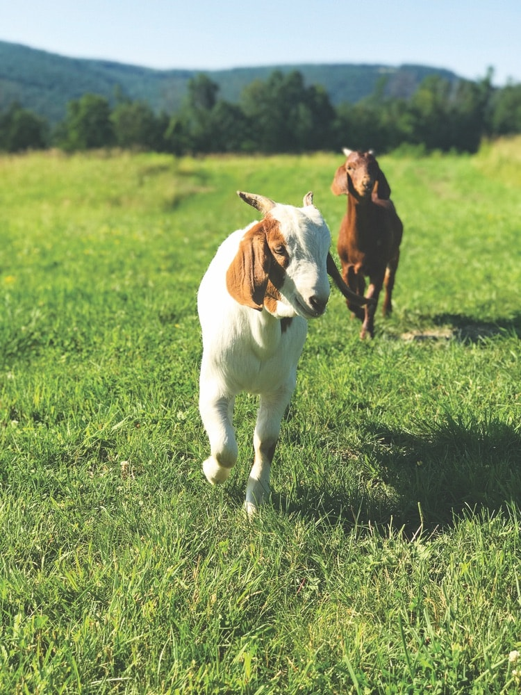 Two goats running together in a field at ZiegenVine Homestead