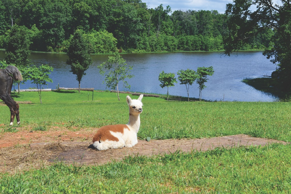 An alpaca hangs out by the water on a sunny day at Little Goat Farm at the Lake.