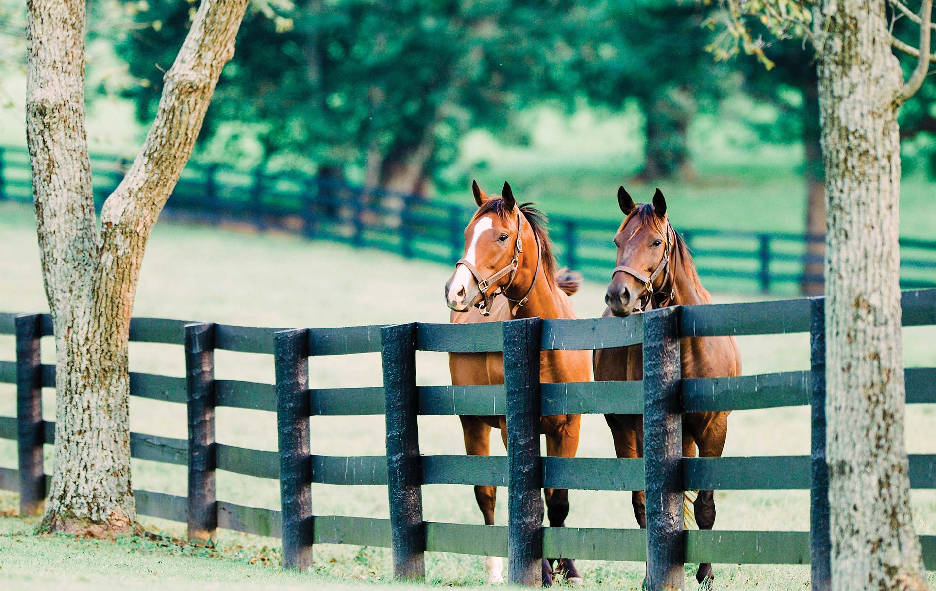 Thoroughbreds at Mill Ridge Farm
