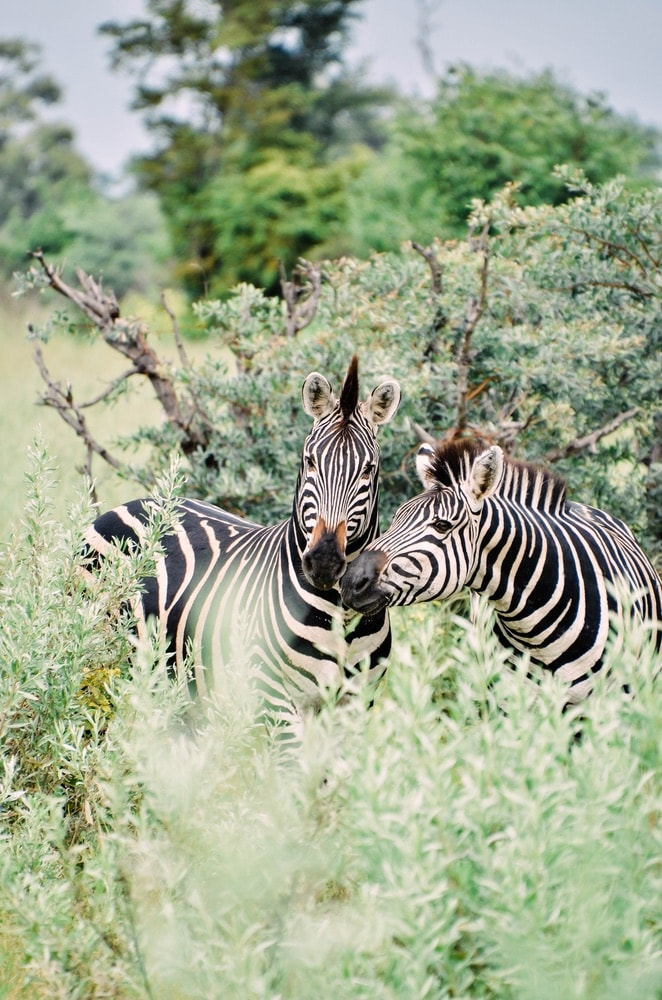 Boat tours on the Four Rivers Route along the Zambezi, Okavango, Kwando, and Chobe Rivers are ideal for safari-goers to see wild animals such as hippos, hornbills, zebras, and much more.