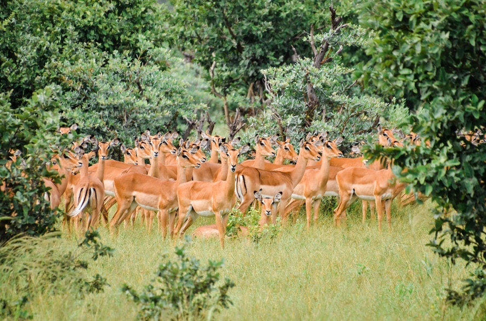 A herd of impalas stands at attention.