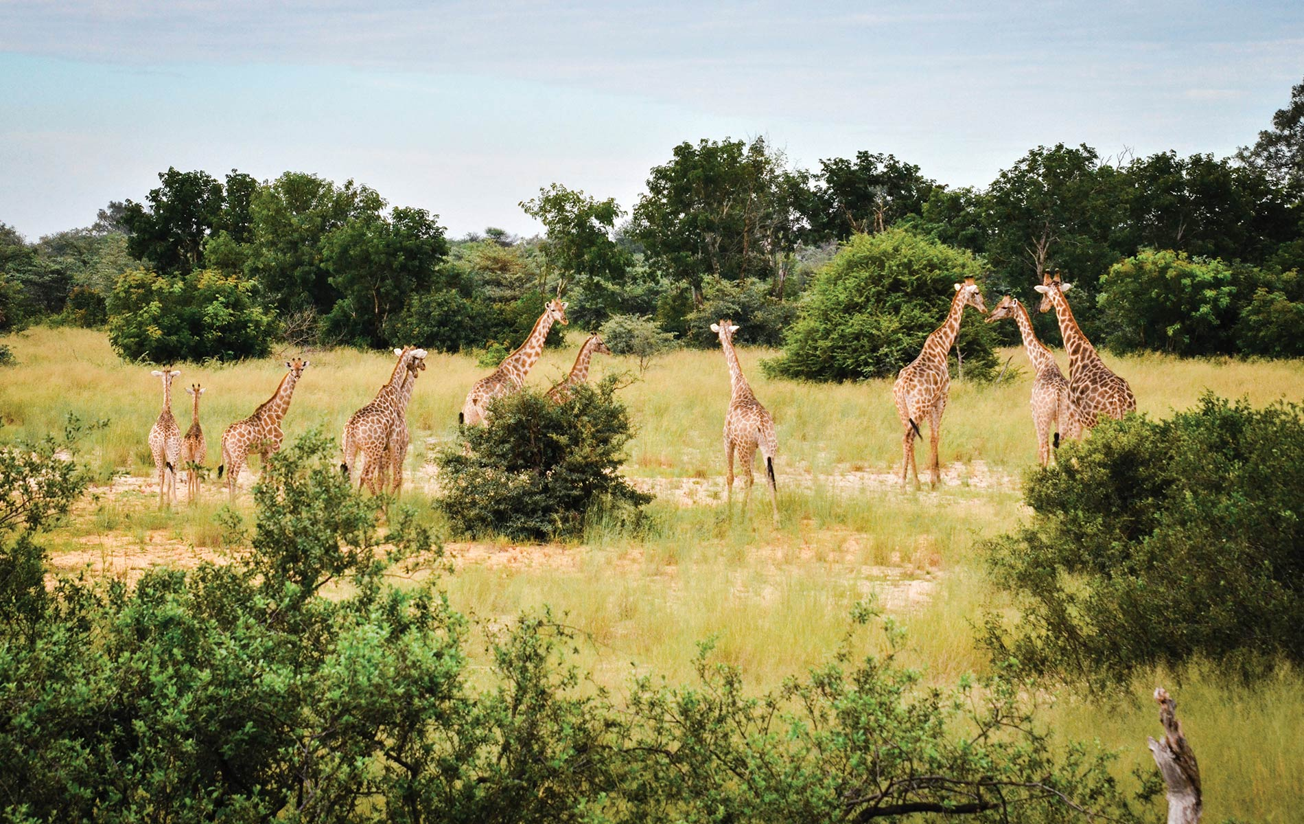 A tower of giraffes heads for their meal of choice—acacia trees—in Namibia's Zambezi region.
