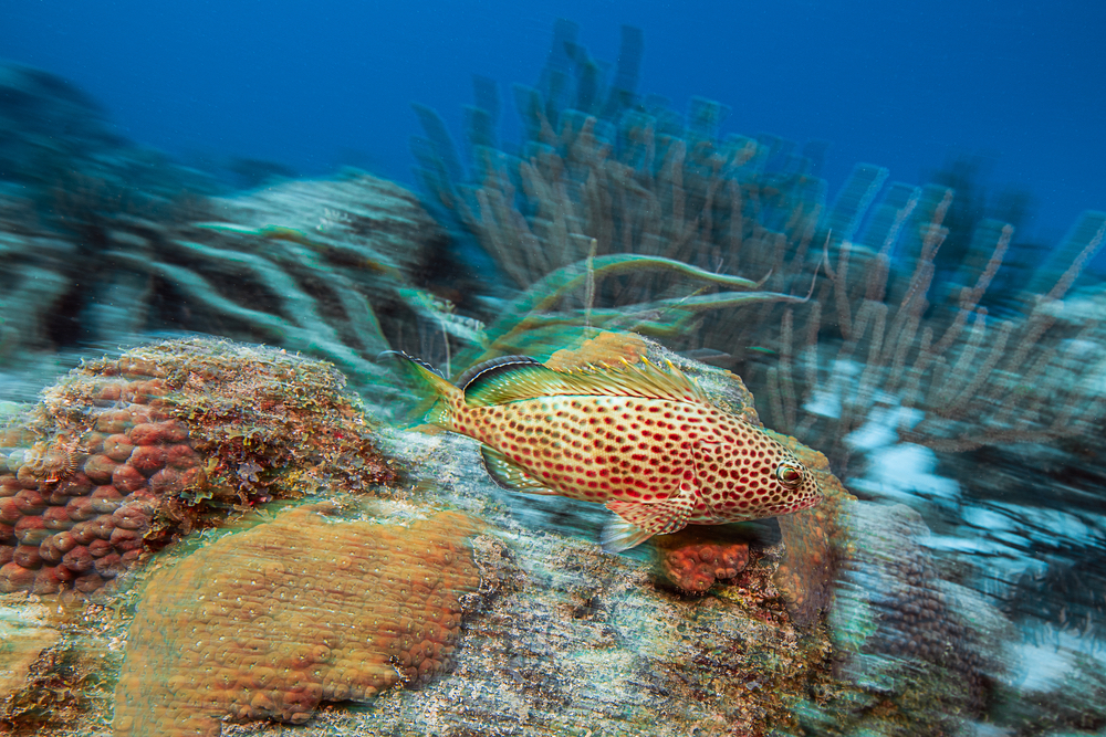 red hind grouper swimming at Double Reef