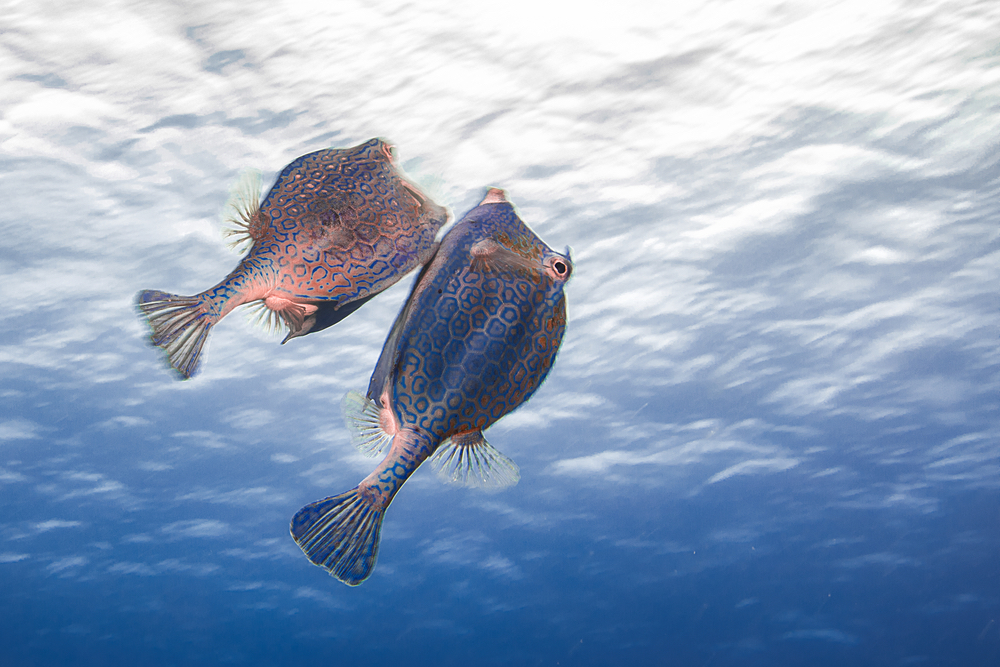courting behavior of two honeycomb fish
