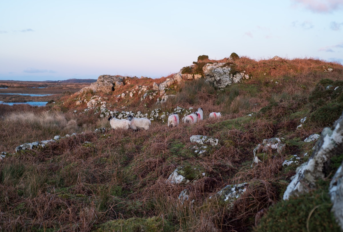 Sheep roaming on a mountain side in Connemara Ireland