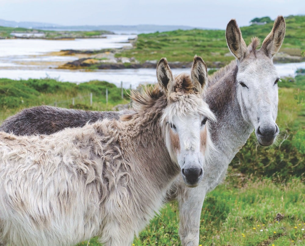 Two wild donkeys hanging out in the countryside of Ireland