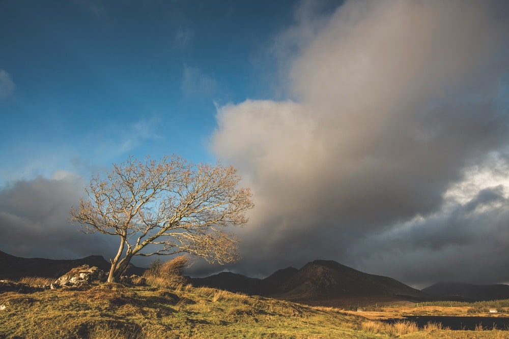 A lone wind-battered tree on the hillside of Athry, Recess, Ireland