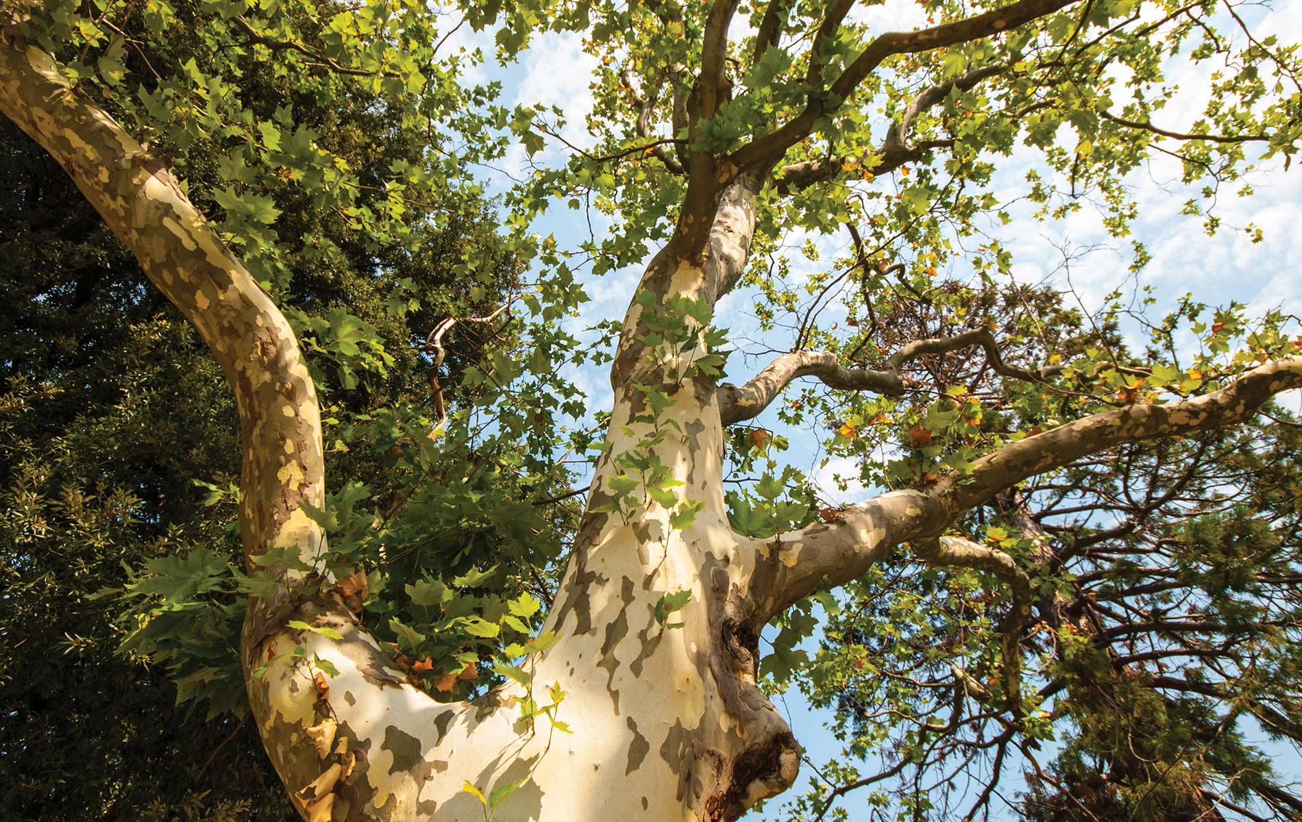 Sycamore tree in the park during sunny, summer season