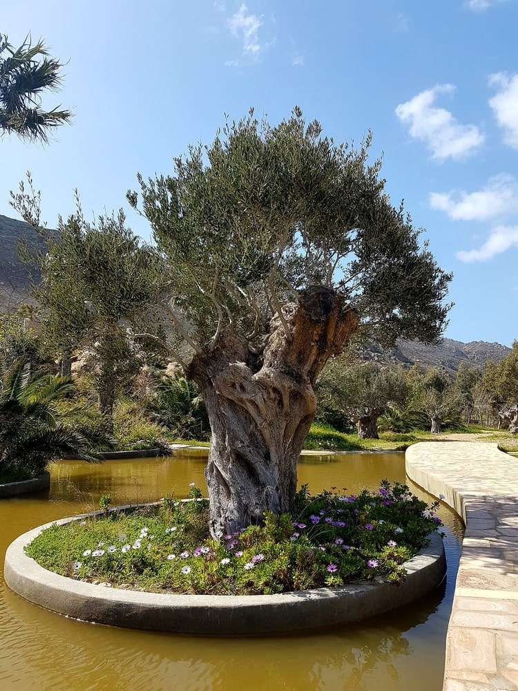calilo olive tree