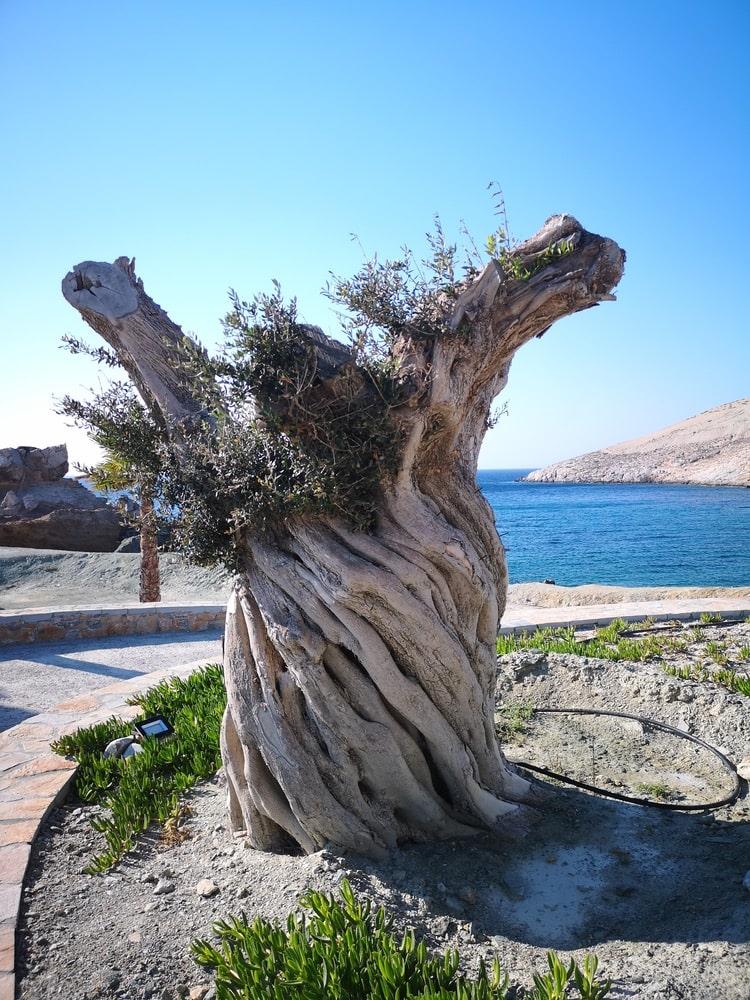 papas olive trees