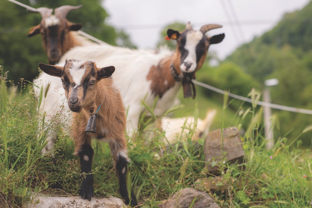 The Picos de Europa are home to many agricultural villages, so trekkers will no doubt encounter local livestock.