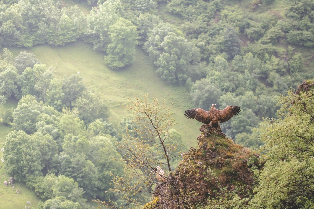 A vulture dries its wings after a drizzly morning in the mountains, Picos de Europa